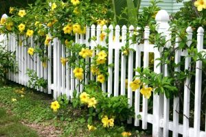 white picket fence with yellow flowers climbing on fence.